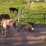 Die Esel leben am Steingut in Harmonie mit Pony und Ziegen